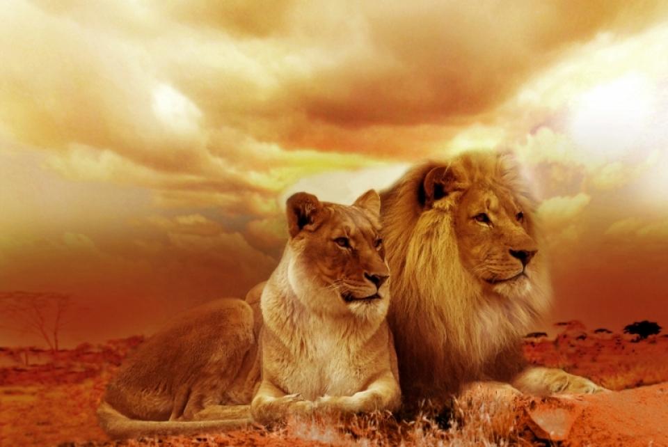 africa-animals-lioness-40756