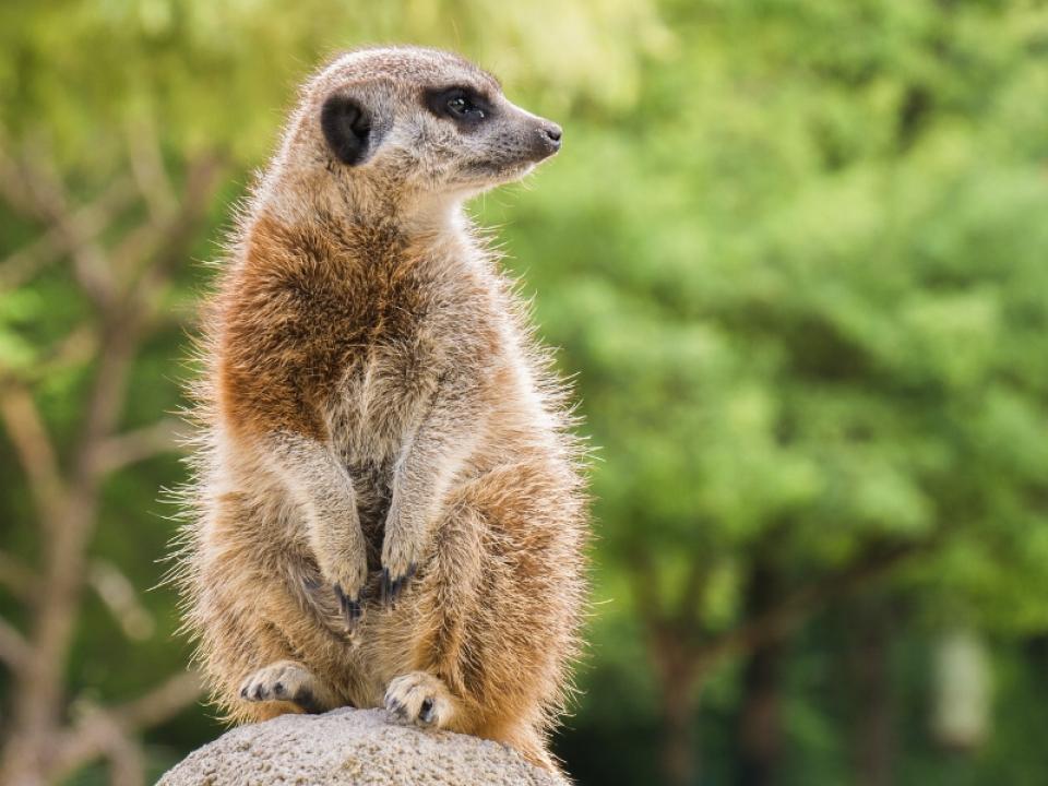 meerkat-3525978_1280