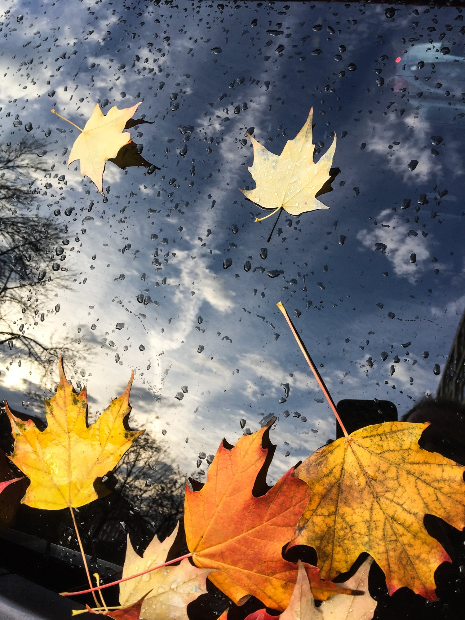 fallen-maple-leaves-on-windsheild_4460x4460