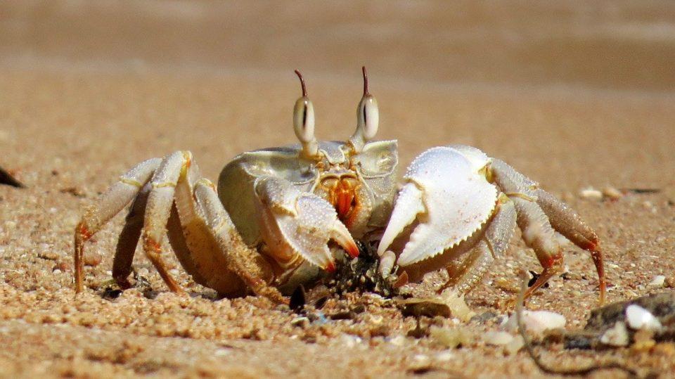 Image de crabe illustrant le signe du Cancer